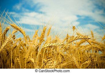 dorato, campo frumento