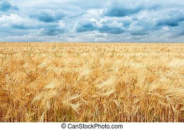dorato, nubi, campo, drammatico, tempesta, frumento