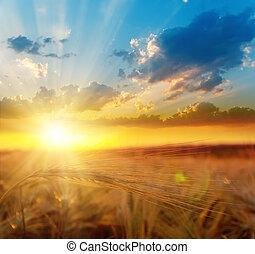 dorato, sopra, tramonto, orzo, campo