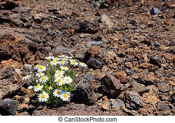 el, clima, vulcanico, pietra, arido, teide, solitario, fiore, deserto, tenerife.