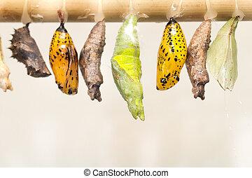 emergere, viste, composito, vario, monarca, chrysalis.