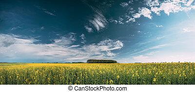 erba, oilseed, paesaggio., fiore, sky., vista, fiori gialli, panoramico, canola, pianta, stupro, campo, sotto, soleggiato, panorama, seme ravizzone, prato