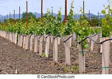 essendo, piantato, uva, viti