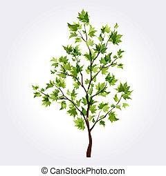 estate, albero., acero