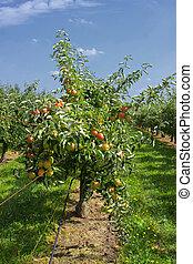 estate, frutteto mela, albero, mele, caricato