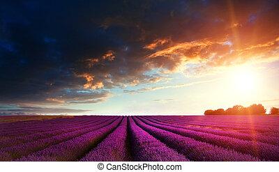 estate, giacimento lavanda, tramortire, tramonto, paesaggio