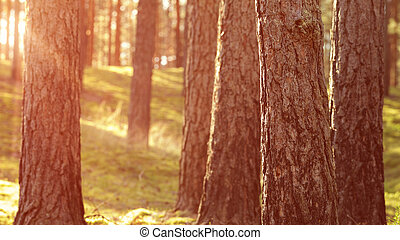 estate, riscaldare, tramonto, foresta, pino