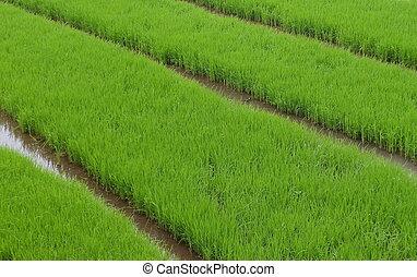 età, questo, ovest, prima, spostare, preso, java, verde, zona, piantatura, piante, right., quando, immagine, indonesia., riso, reale, semi, essendo, dove, crescere, fields.