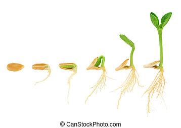 evoluzione, concetto, sequenza, isolato, pianta, crescente, zucca