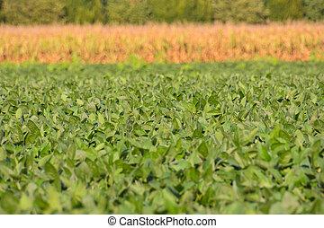 fagiolo, campo, soia, pianta