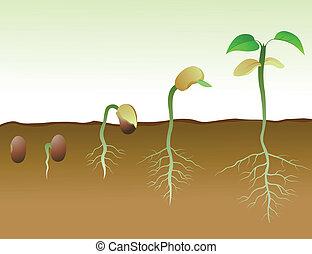 fagiolo, squence, seme, germinazione