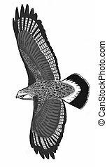 falco, rude-con gambe