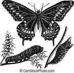 farfalla, incisione, vendemmia, papilio, nero, swallowtail, polyxenes, o