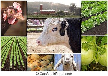 fattoria, collage, animale