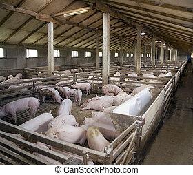 fattoria maiale