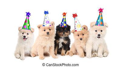 festeggiare, compleanno, cinque, pomeranian, cuccioli