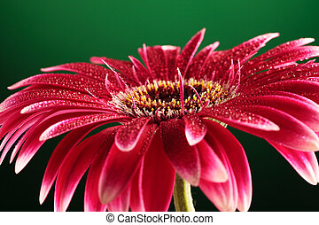 fiore, backround, verde, gerbera