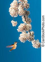fiore blu, volare, cielo, fondo, bianco, colibrì