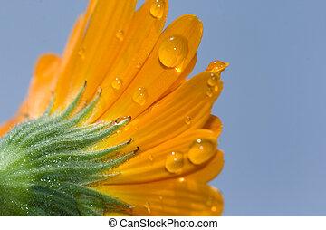fiore, colpo, macro, giallo, acqua, petali, gocce, gerbera