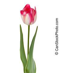 fiore, fondo., isolato, eps, tulipano, 8, bianco