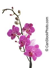 fiore, fondo, (phalaenopsis), ramo, bianco, orchidea