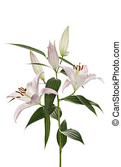 fiore, (lilly)