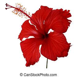 fiore, rosso, ibisco, bianco