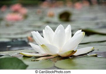 fiore, stagno, fiore bianco, waterlily