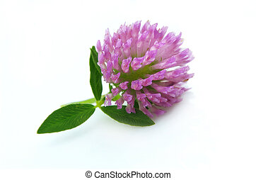 fiore, trifoglio