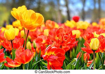 fiore, tulips., natura, letto, multicolor, fondo
