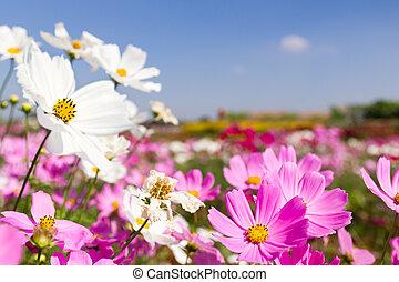 fiori bianchi, rosa, cosmo