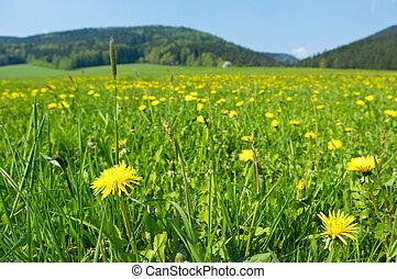 fiori freschi, prato, giallo