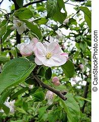 fiori, mela