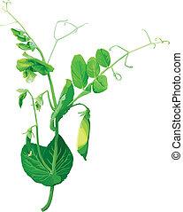 fiori, pisello verde