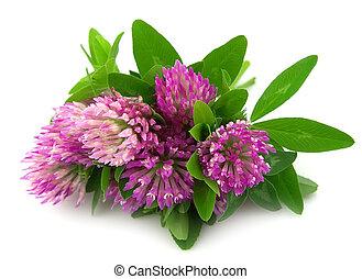 fiori, trifoglio