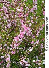 fioritura, mandorla, iv