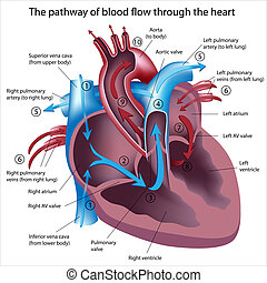 flusso, attraverso, sangue, cuore