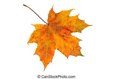foglia, acero, autunno