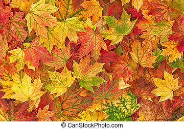 foglia autunno, foglie, fondo, acero, cadere