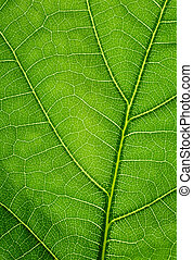 foglia, quercia, struttura, fondo., verde, closeup.