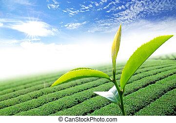 foglia, tè, verde