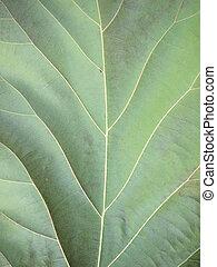 foglia verde, closeup