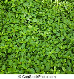foglia verde, fondo