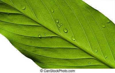 foglia verde, macro
