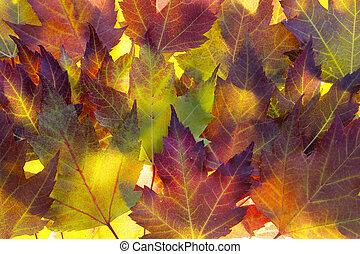 foglie, acero, fondo, cadere