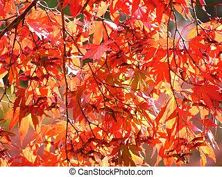 foglie, acero rosso