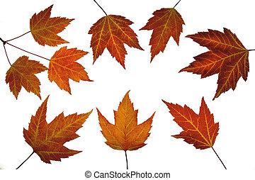 foglie, acero rosso, cadere