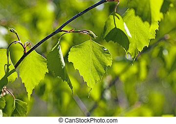 foglie, betulla