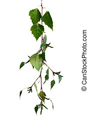 foglie, betulla bianca
