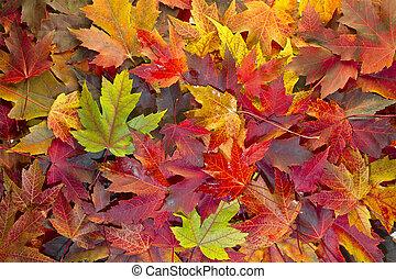 foglie, colori, 2, fondo, cadere, mescolato, acero
